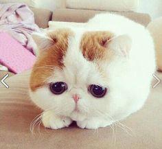 Exotic Shorthair Cat. El Gato exótico es una raza de gato que tiene la complexión del gato persa pero con el pelo corto. Se obtuvo por hibridación del British Shorthair y el American shorthair con los persas.