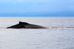 Mother humpback whale and her calf swimming gently in the warm waters of Golfo Dulce, Costa Rica. Be part of the dream at Golfo Dulce Retreat www.gdretreat.com