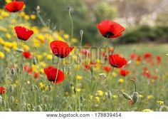 Blooming Red Poppies Stock Photo & Stock Images | Bigstock