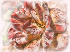 Faded Glory. by J. Gazo-McKim   I wanted the colours and digital painting to represent how the flower,although fading has an ethereal quality to it still.