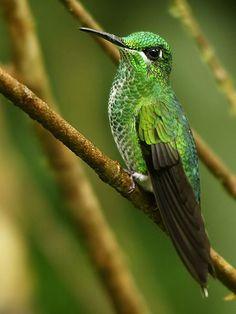 Green-crowned Hummingbird