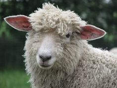Lincoln Sheep | Lincoln Longwool Lambs - The Accidental Smallholder