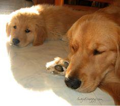 Beautiful Goldens via AugieDoggy.com