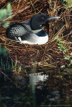 Loon on a nest in Maine ~ One of our favorite things to see (and hear) when… Pretty Birds, Love Birds, Beautiful Birds, Animals Beautiful, Nature Animals, Animals And Pets, Cute Animals, Nester, Exotic Birds