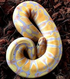 Pet care is both enjoyable business. Les Reptiles, Cute Reptiles, Reptiles And Amphibians, Snake Breeds, Serpent Animal, Python Royal, Reticulated Python, Burmese Python, Colorful Snakes