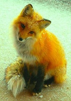 I want a Pet fox ! ❤