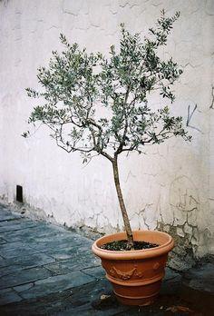 | ♕ | Tiny Olive Tree Pot | by © Joe Boyle