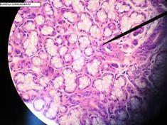 Resultado de imagem para Células reais microscopio óptico