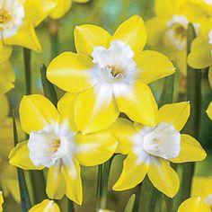 Pipit Daffodil