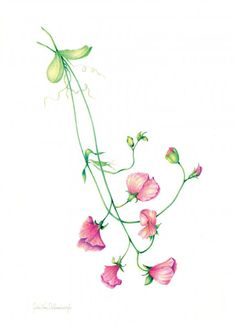 cascading sweet pea.  I think this is the one, but with deep purple flowers