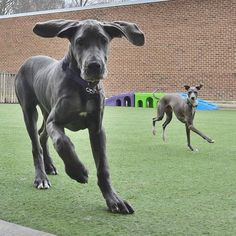 Bluebell Great Dane Puppy, Gentle Giant, Labs, Doggies, Cute Animals, Puppies, Instagram, Gran Danes, Dogs