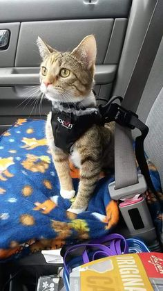 I taught my Cynder to walk on a leash and ride in my car with a seatbelt harness. This is one of my favorite pictures of her adventuring.   cats funny pictures