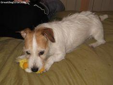 Brown Jack Russell Terrier Long Hair
