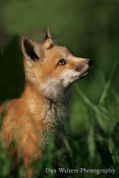 Red Fox Cub by Dan Walters - photo.net