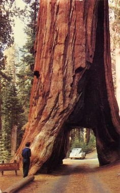 Redwoods in Yosemite National Park.