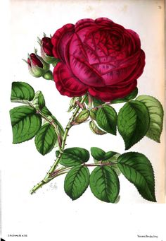 Triomphe D'Amiens Rose. Plate from The Floral Magazine: Comprising Figures and Descriptions of Popular Garden Flowers (1862).