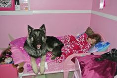 German Shepherd Silver Sable