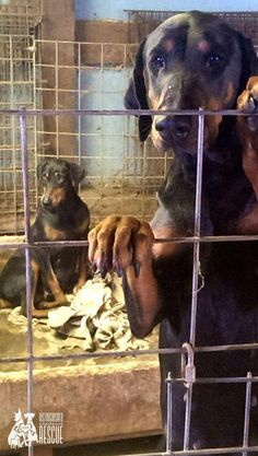 """The Elka Almanac: With Distinguished Doberman Rescue: """"Mission 6 - Your Help is Needed"""""""