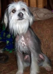 Petfinder #Adoptable Dog | Chinese Crested Dog | #OakGrove, #MISSOURI | Mr. Unique