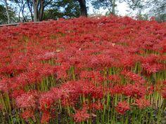 曼珠沙華 大宮花の丘公園 2012.10