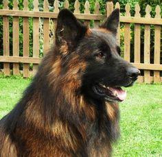 HausBeck Long Hair German Shepherds Breeder