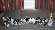 Basset Family!  When we had 9 Basset puppies, they were NEVER on the couch but the Hilton in one of our spare bedrooms!