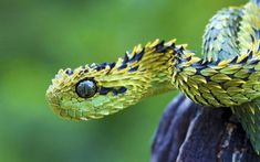 I think it's either Atheris squamigera or Atheris hispida. Either way common name = African Bush Viper. Bizarre Animals, Unusual Animals, Rare Animals, Ugly Animals, Nocturnal Animals, Interesting Animals, Reptiles Et Amphibiens, Mammals, Beaux Serpents
