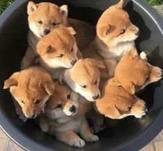 Cute dog dogs puppy puppies animal animals pet pets shiba inu japanese in a bowl adorable funny aesthetic Cute Dogs And Puppies, Baby Puppies, I Love Dogs, Baby Dogs, Cute Baby Animals, Animals And Pets, Funny Animals, Shiba Puppy, Puppy Goldendoodle