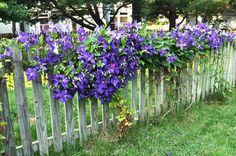 clematis on a picket fence