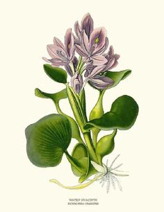 Hyacinth Flower Botanical Art Print id=6193