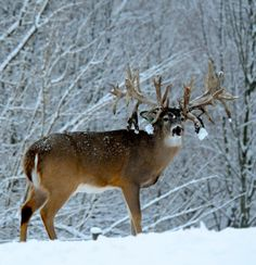 Non Tipical Big Canadian Whitetail Buck 👍 Deer Hunting Decor, Whitetail Hunting, Whitetail Bucks, Hunting Stuff, Whitetail Deer Pictures, Deer Photos, Deer Pics, Big Deer, Deer Family