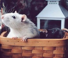 #Repost @krokorats  Hi everyone from Grinya and Kedrik  Всем привет от малышей  #ratsofinstagram #крыса #декоративнаякрыса #фотопетшопру #petphotography #petphoto #инстаграмзверят #ratcommunity #zooshef #cutepetclub #фотоголдфиш #ratsofig #animalphotography #animalphotos #petsofinsta #petsofimstagram #animalsofinstagram #instapetmo