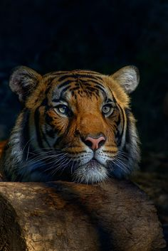 Tiger in the Shadows by patrick strock
