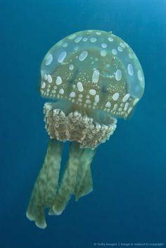 Polka dot jellyfish