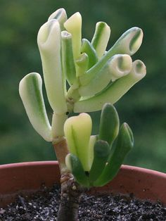 Crassula ovata 'Gollum' f. variegata - Variegated Gollum Jade is a small evergreen, sparingly branched, shrubby succulent, up to 3 feet (90 cm) tall...