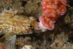 Nudibranch helping other fish
