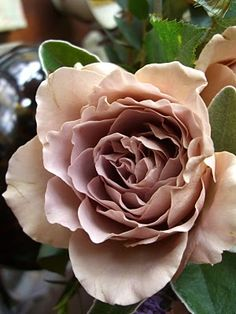 Rose Julia Baby. I have not heard of this rose. Could  it be bred from of Julia's Rose?