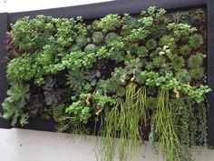 cuadro vegetal suculentas en pleno desarrollo
