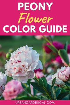 Flower colors - Did you know there are peonies available in just about every shade of the rainbow? If you love peony flowers, you're sure to find some beautiful options on this list of colorful peonies. #flowers #flowergarden Flowers Perennials, Planting Flowers, Flower Gardening, Peony Colors, Peony Flower, Garden Beds, Colorful Flowers, Indoor Plants, Peonies