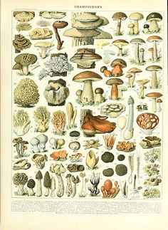 Mushroom illustration of the Nouveau Larousse illustré, Adolphe Millot, public domain via Wikimedia Commons.