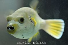 The Dogface Puffer is one of my favorite fish