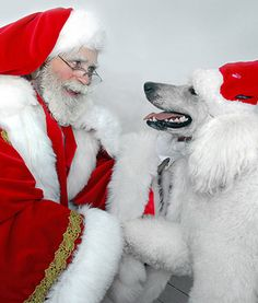 """Christmas Poodle -- """"Don't worry, Santa, I got this. Now, where's my sleigh?"""""""