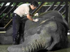 An undated handout photograph shows an elephant receiving acupuncture, a form of traditional Chinese medicine, from a veterinarian at the Singapore Zoo. Around 200 animals, including giraffes, elephants, horses, pythons and sea lions, have successfully been treated with acupuncture and traditional herb-based Chinese medicine in the past decade, although Western medicine remains the first line of treatment in the zoo. REUTERS/Singapore Zoo/Handout