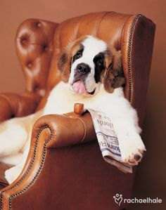 Sharky (St Bernard) - Sharky likes to keep up with the play from the comfort of his favourite chair.