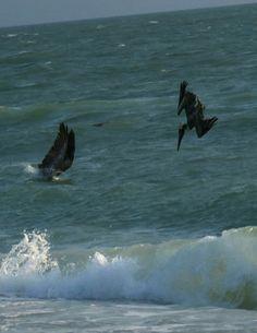 Bird Photos, Birding Sites, Bird Information: BROWN PELICAN DIVING FOR FISH, CLAM PASS PARK, NAP...