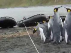 ペンギンvs低いロープ