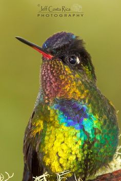 Fiery-throated Hummingbird: breeds only in the mountains of Costa Rica and western Panama