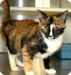 Carrollton, GA - Calico. Meet Marci a Cat for Adoption.
