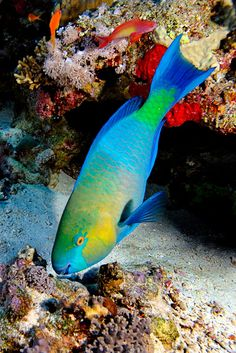 Parrot fish by Volkan Yenel Underwater Animals, Underwater Creatures, Underwater Life, Ocean Creatures, Colorful Fish, Tropical Fish, Parrot Fish, Life Under The Sea, Beautiful Sea Creatures