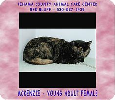 Red Bluff, CA - Domestic Shorthair. Meet MCKENZIE a Cat for Adoption.